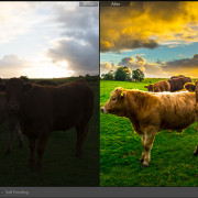Lightroom-Before-and-After-Cows